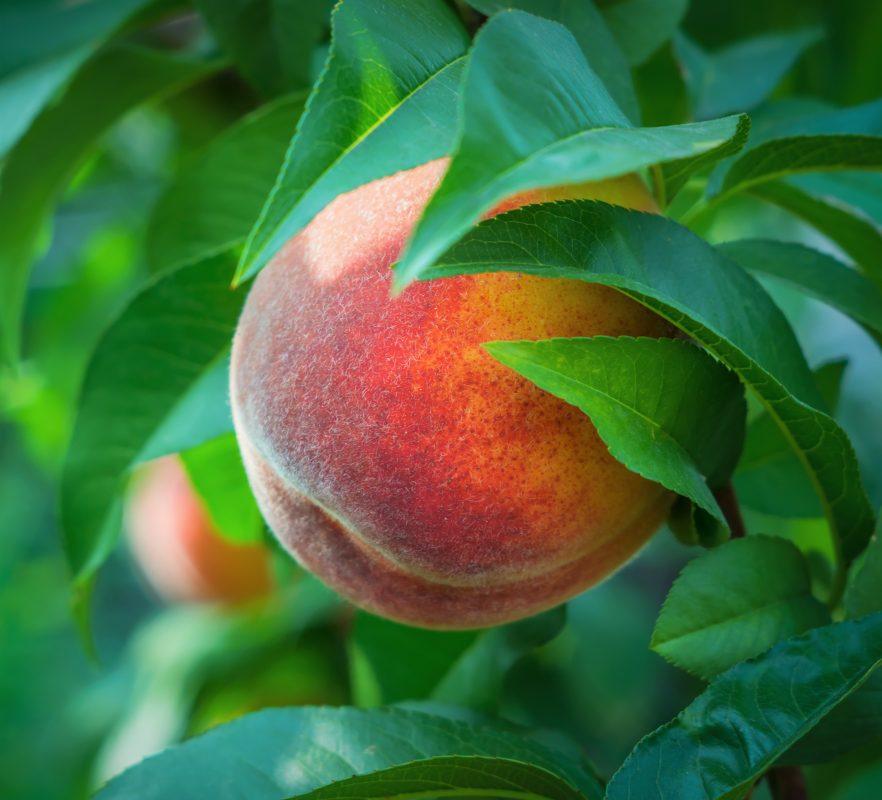 peach perfume